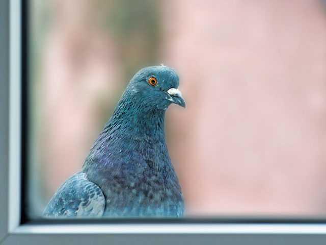 Pigeon on the window trim - signal newspaper valencia
