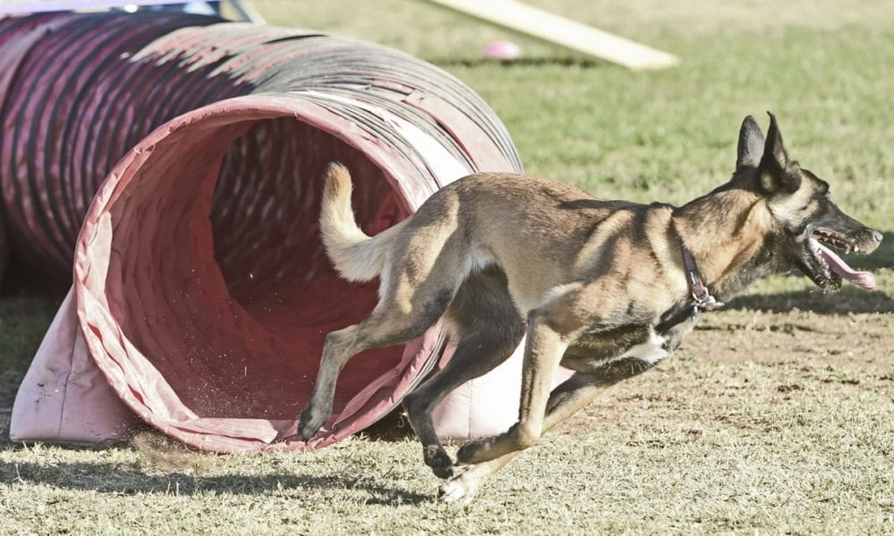One-year-old Belgian Malinois, Roxie, demonstrates her skill on an obstacle course presented by Santa Clarita Valley Dog Agility Club at the American Cancer Society's Annual Bark For Life event held at Bridgepoert Park in Valencia on Staruday. Dan Watson/The Signal