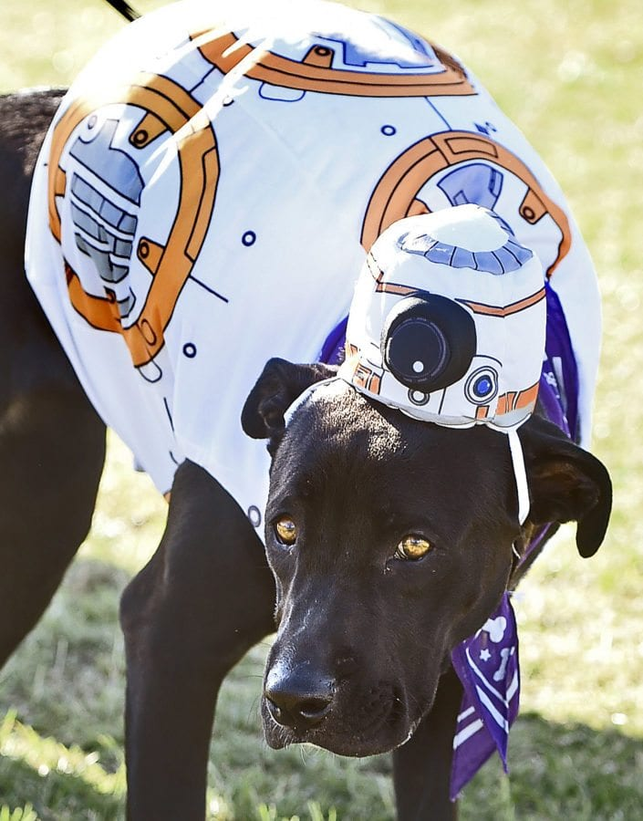 Seven-month-old pitbull-Lab mix Rey, tolerates her Star Wars costume as she waits for the Doggy Lap parade to begin at the American Cancer Society's Annual Bark For Life event held at Bridgeport Park in Valencia on Saturday. Dan Watson/The Signal