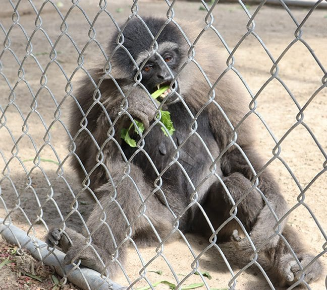 A gibbon eats vegetables as part of the Thanks-Gibbon event at the Gibbon Conservation Center in Santa Clarita on Saturday, Nov. 12, 2016. Nikolas Samuels/The Signal