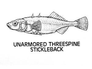 unarmored threespine stickleback