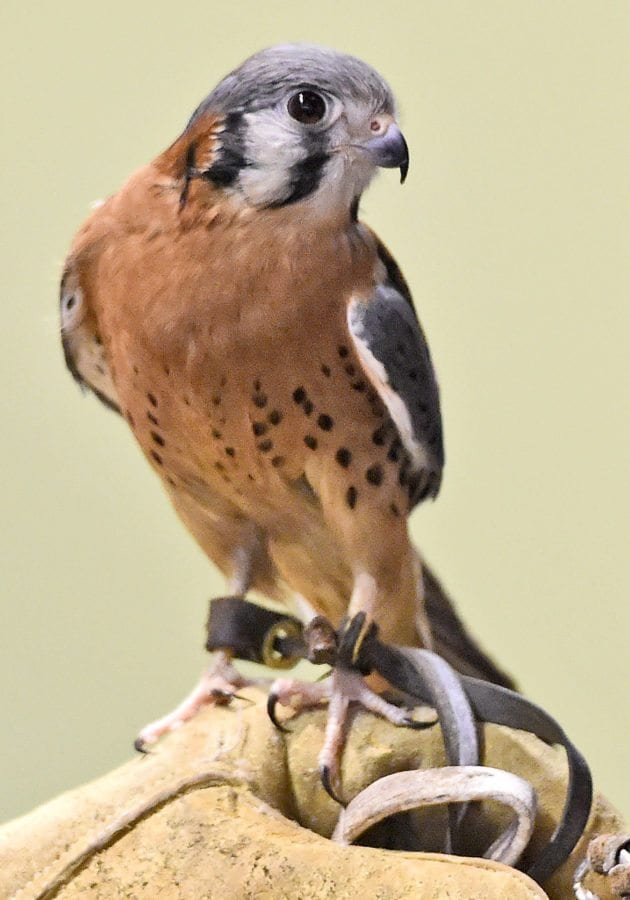 Cricket, a 12 year-old American kestrel watches the members of the audience during the weekly Native Live Animal Presentation at the Placerita Canyon Nature Center on Saturday. Dan Watson/The Signal