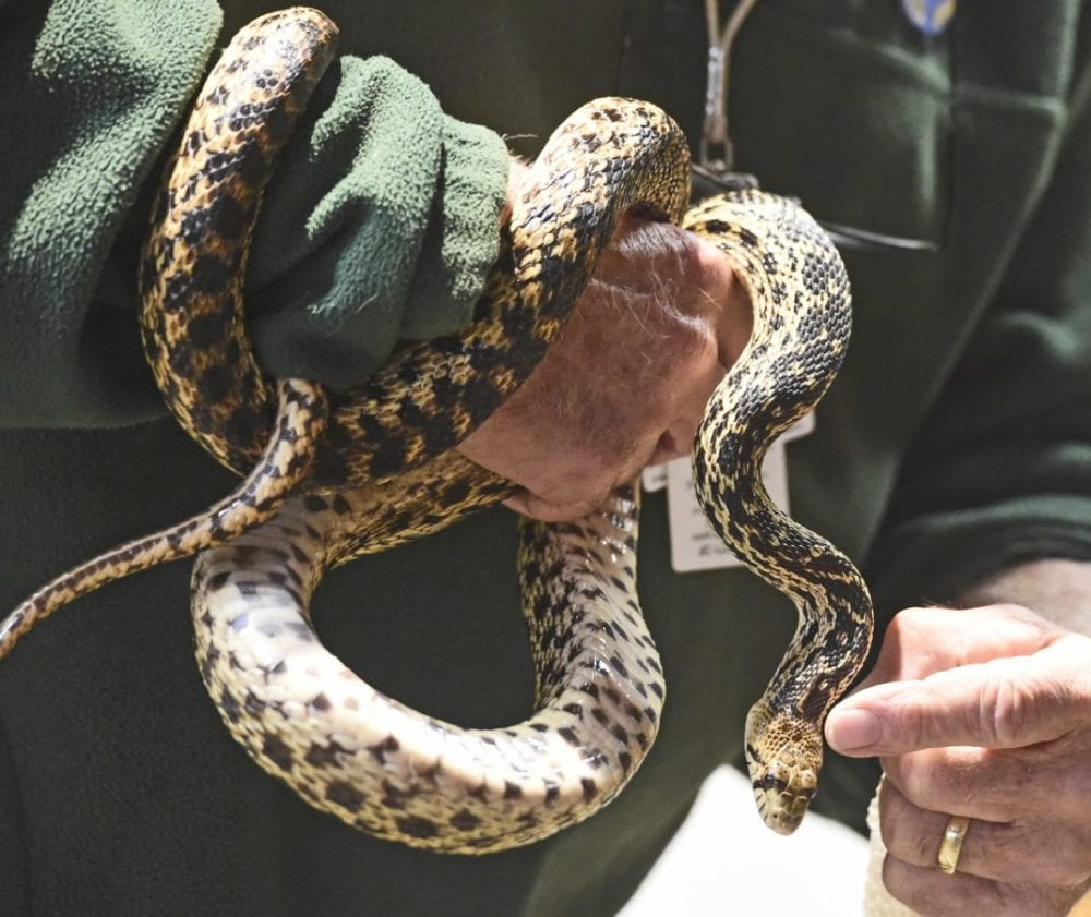 Volunteer Roger McClure describes shape of the head of gopher snake, Sylvester, during the weekly Native Live Animal Presentation at the Placerita Canyon Nature Center on Saturday. Dan Watson/The Signal