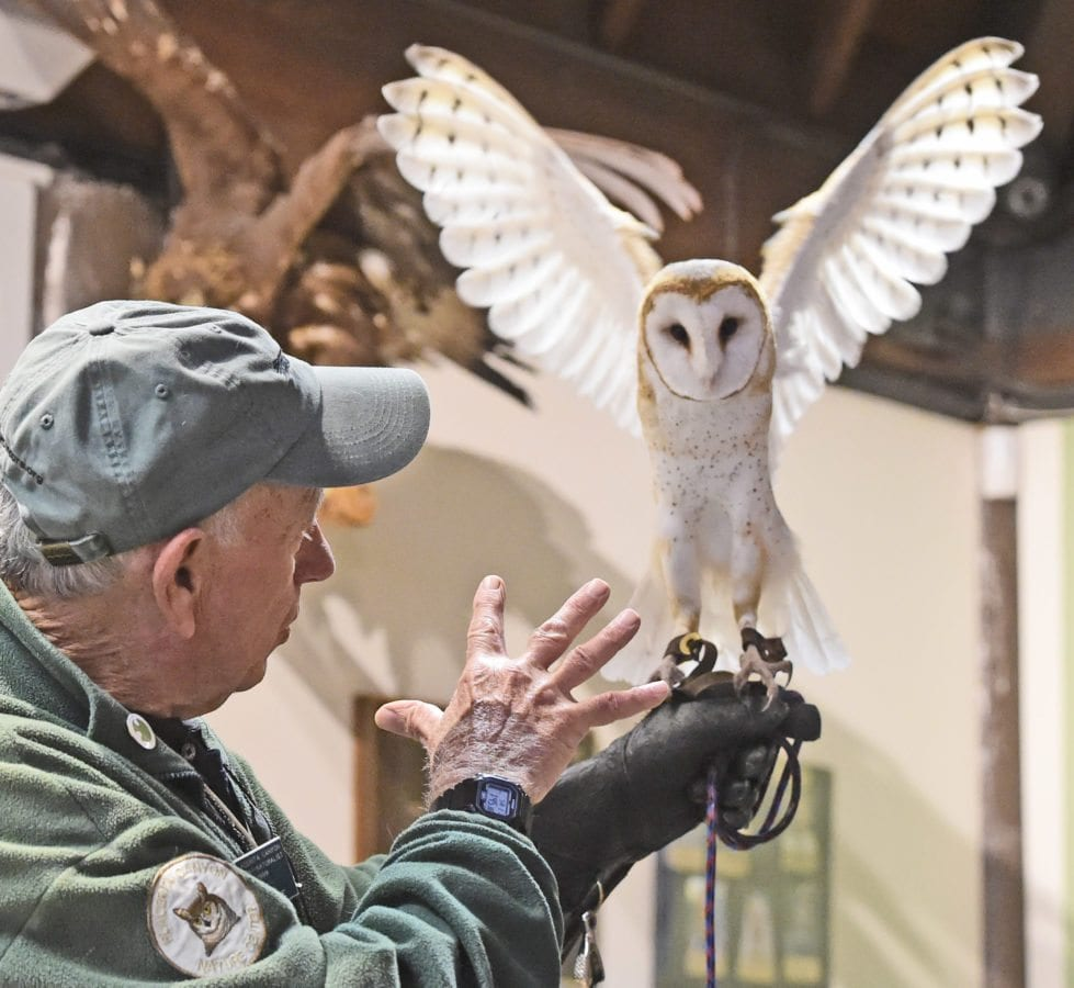 Barn owl Catori flaps his wings as volunteer Roger McClure leads the weekly Native Live Animal Presentation at the Placerita Canyon Nature Center on Saturday. Dan Watson/The Signal