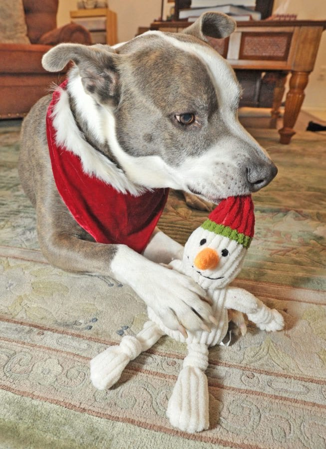 Seven-year-old rescue dog Gopher gets a holiday squeeky toy. Dan Watson/The Signal