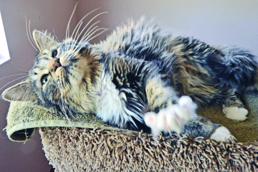 Three-year-old Lucy lounges on her perch a the Klein's  Furever Purr Foster home in Canyon Country.  031616  DAN WATSON    031616