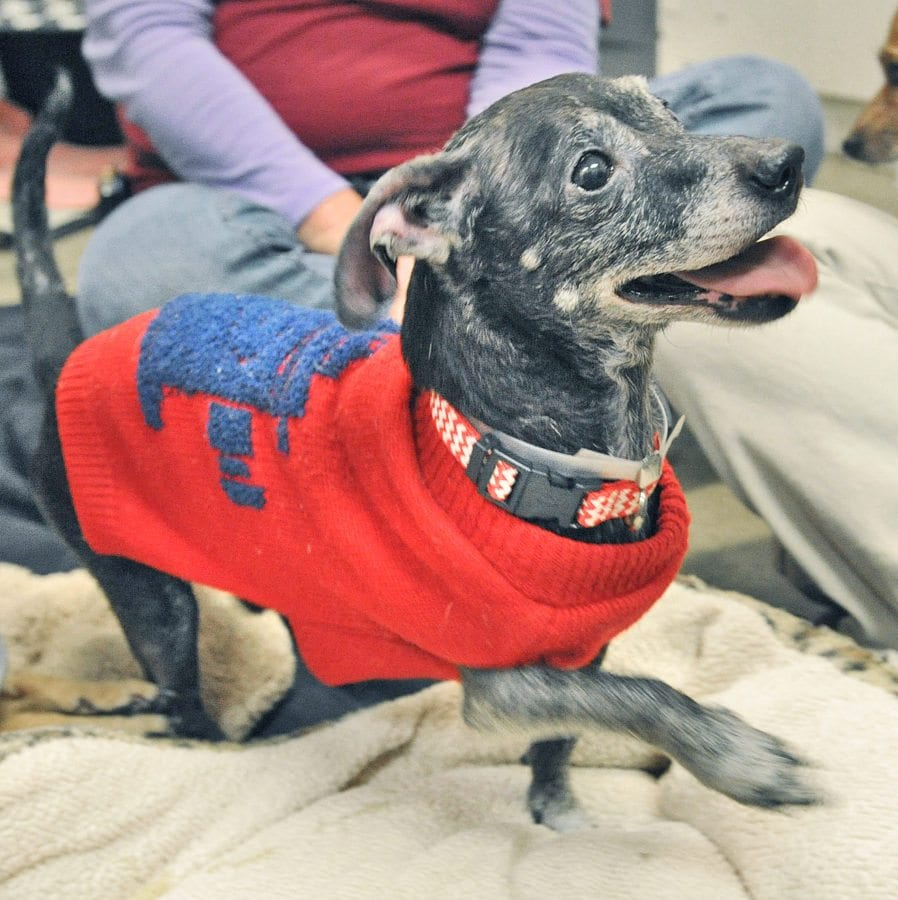 Chihuahua named Boy at the Castaic Animal Care Center.  Dan Watson/The Signal