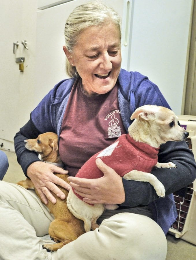 Volunteer Judi Bruner holds senior Chihuahuas Dinky, left, and Sammy at the Castaic Animal Care Center.  Dan Watson/The Signal