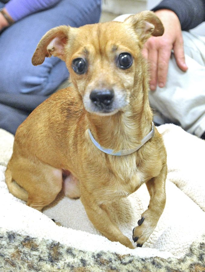 Chihuahua named Dinky at the Castaic Animal Care Center.  Dan Watson/The Signal