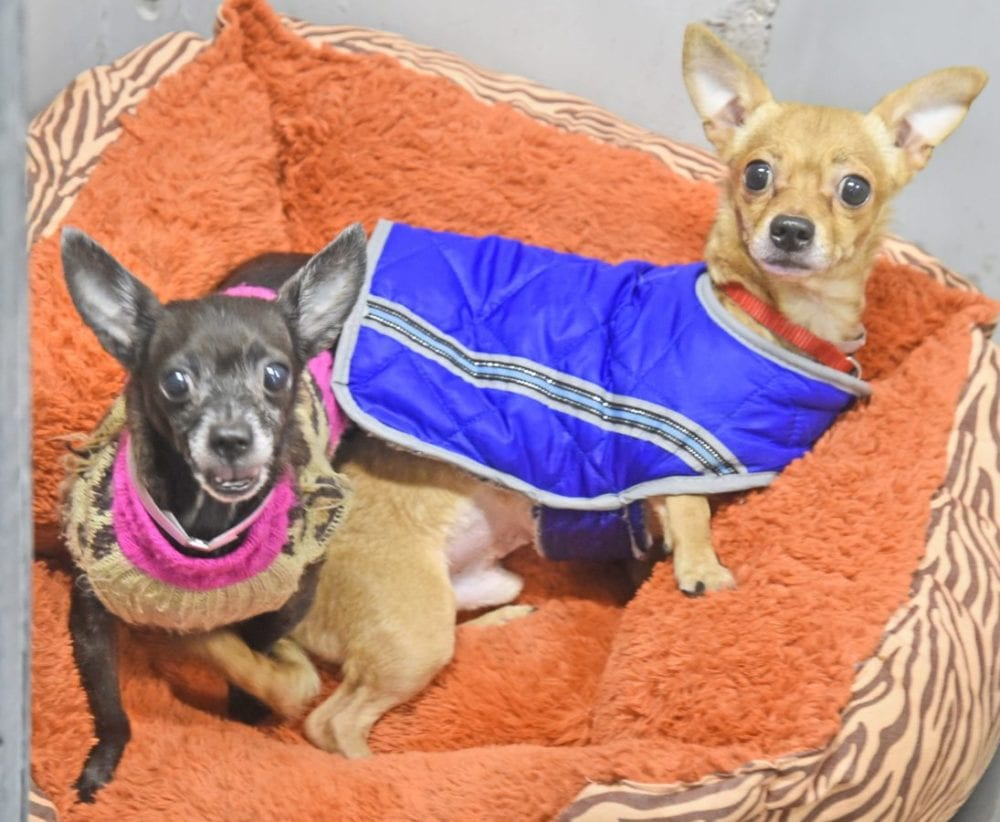 Chata, left, and Manny are two of a group of senior Chihuahuas that are waiting for a home at the Castaic Animal Care Center.  Dan Watson/The Signal