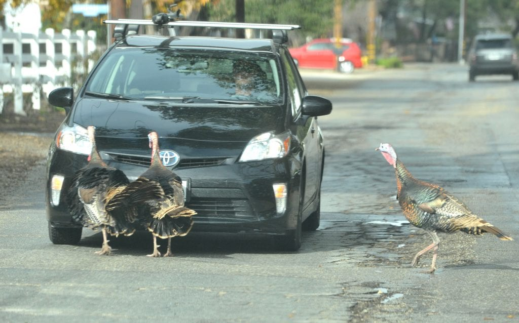 Film producer Collier Landry waits for three turkeys to cross the road in front of his car on Wildwood Canyon Road in Newhall on Thursday. Dan Watson/The Signal
