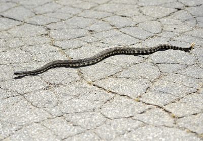 Rattlesnake avoidance training for dogs coming later this month