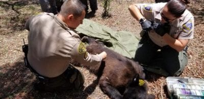 UPDATE: Bear captured in Castaic near dog kennel, wildlife on the move