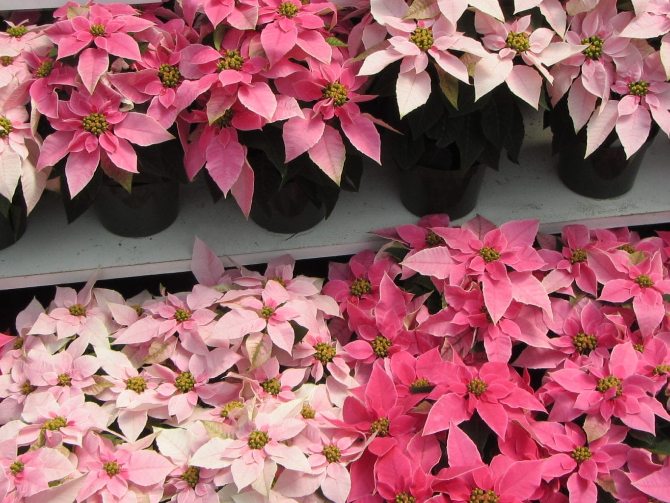 Caring For Your Poinsettia And Christmas Tree