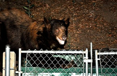 Bear sighted near Newhall mobile home park