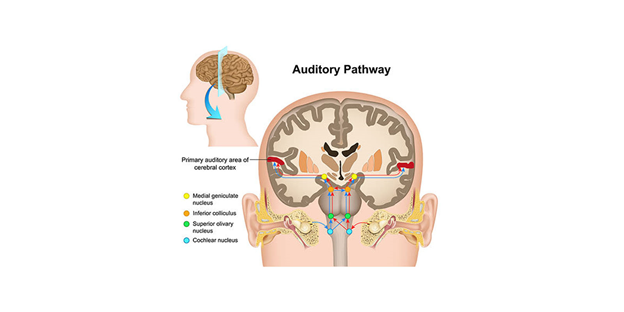 Clear Sound 911-Auditory pathway